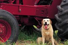 Dog by Tractor